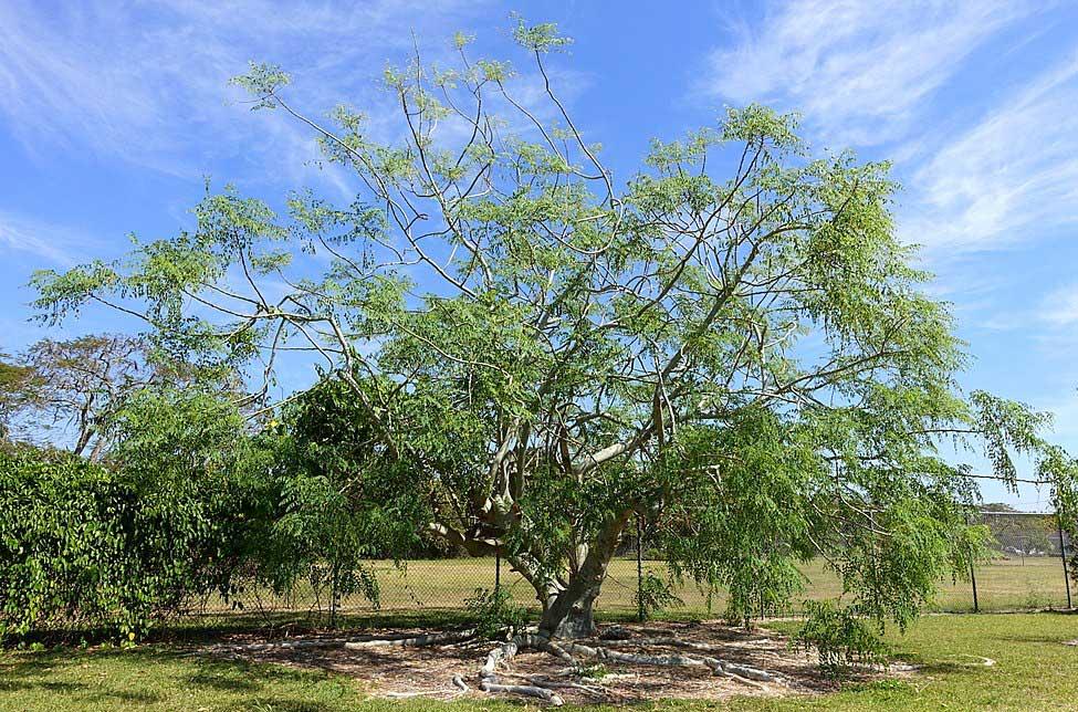 Árbol de la Moringa stenopetala