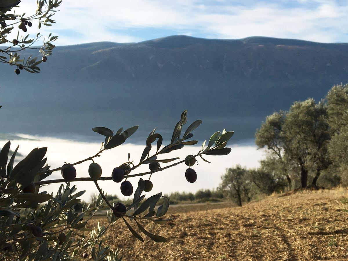 Olivos en Barcedana